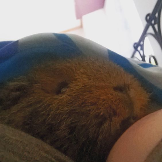 One of my guinea pig : Morrighanne!! She's a Swiss teddy gold agouti !!! She loves to lie down everywhere!!! xD