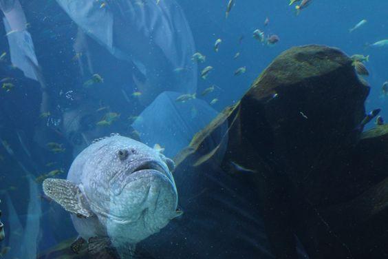 Foto: Angel Javier Rosario, Georgia Aquarium