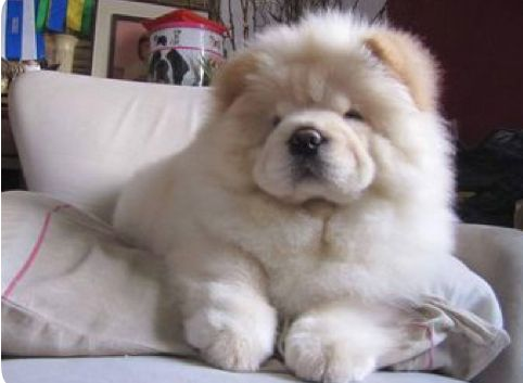 What A Sweet Teddy Bear Chowchowlove Fluffy Dogs Chow Chow