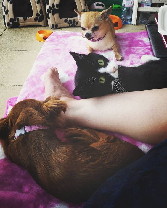 Too many #kawaii #chihuahua #chihuahuaoftheday & #petoftheday options today! So...here's a selection! Tipsy the cat Toffee and Charlie bail onto my Barlow Tyrie lounger as the sunsets...sooooo sweet! www.mayastar.net www.mayamagickal.net
