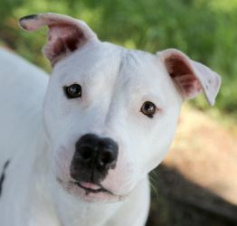 Zinnia - young and lovable girl is an adoptable Pit Bull Terrier Dog in Hillsboro, OR. Young, affectionate, and also loves to be active at playtime! 2 yrs old, 43 lbs, children 8 and up If this dog is...: