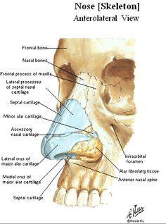 nas cart n bone nose anatomy inner nose diagram parts of external  : nose diagram anatomy - findchart.co