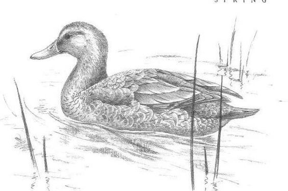 Mallard Duck Sketch - Eend | vogels | Pinterest | Mallard ...