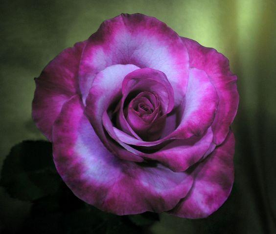 Rose 'Barbra Steisand'   BELLE  OSCUR **+