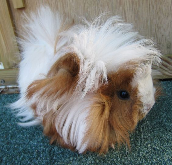 All Things Guinea Pig Breeds and Varieties Animals