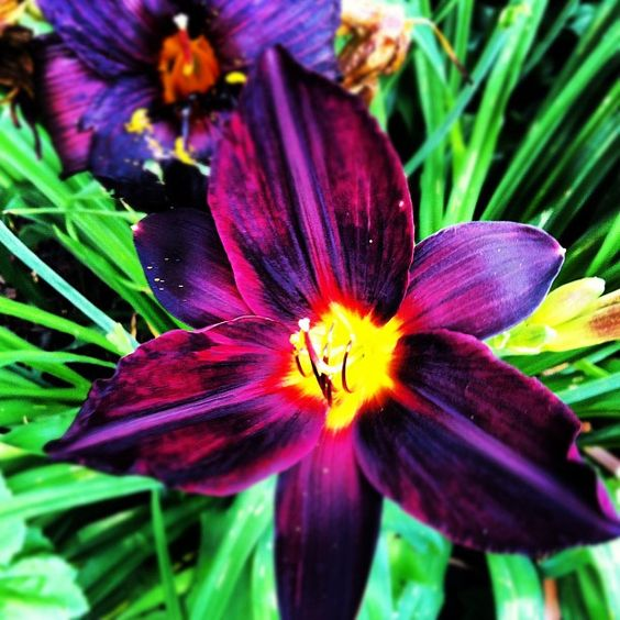 Lily for front yard