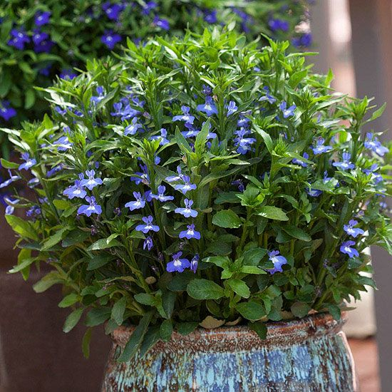 This new lobelia is able to take the heat and bloom all summer long. More new annuals: http://www.bhg.com/gardening/flowers/new-annuals/?socsrc=bhgpin030213lobelia=2: