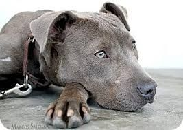 Weimaraner/Pit bull mix | Pretty pups! | Pinterest