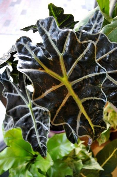 Growing Kris Plant Alocasia: Information About Alocasia Indoor Planting