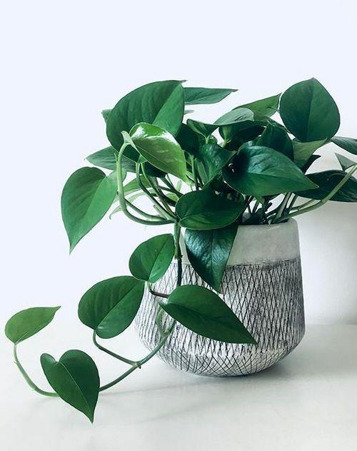 jade pothos, 10 types of pothos