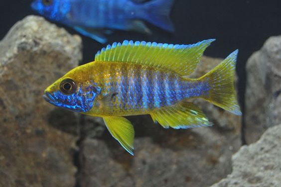 lemon jake peacock cichlid - photo #33