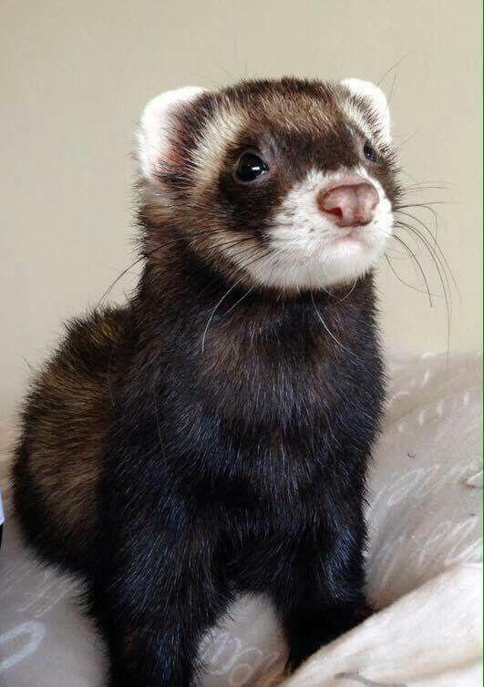 Exoticpets Ferrets In 2020 Pet Ferret Baby Ferrets Cute Ferrets