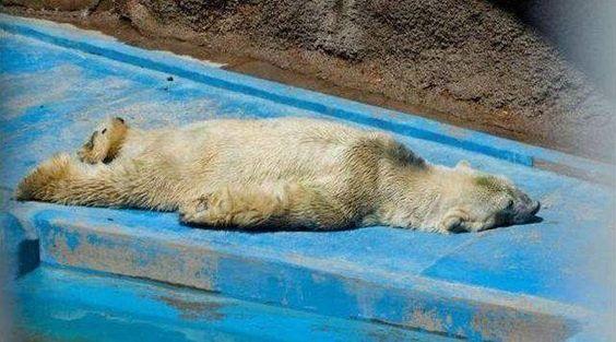 Ativistas tentam transferir o animal para um local com melhores condições antes que ele fique doente, mas a burocracia de seu zoológico está dificultando o processo.