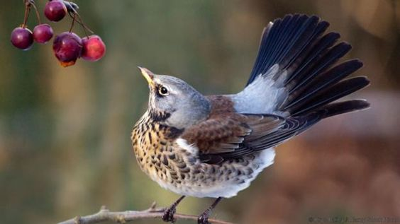 Look for fieldfares in hedgerows and orchards (credit: Krys Bailey / Alamy Stock Photo)
