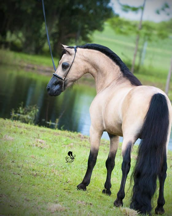 Miniature Stallions for Sale Age 3 & Older