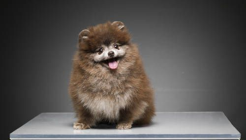 Chocolate Pomeranian, 3.5 lbs male for sale. $1,500 in Miami. Contact me for details and pedigree.: Animals, Chocolates, Chocolate Pomeranian, Pomeranians