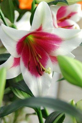 Lilium Friso