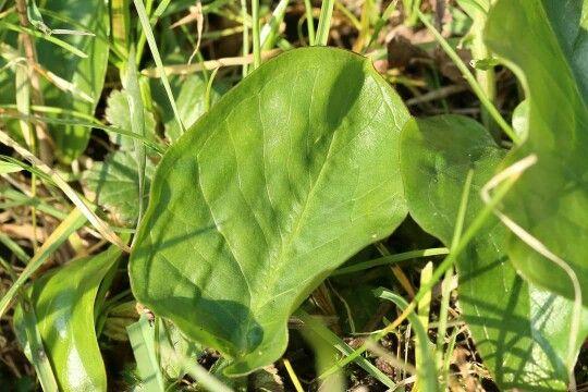 Lords and Ladies, Arum maculatum