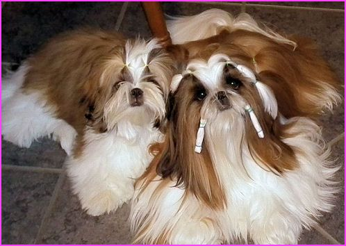 Mr Foo S Shih Tzu Of Indiana Kentucky Missouri Illinios Ohio Michigan Carly Home Bred Champion Shih Tzu Puppie Shih Tzu Puppy Shih Tzu Breeders Shih Tzu