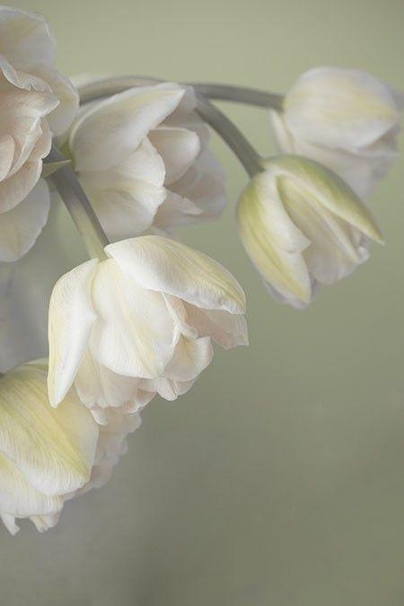 Épinglé par marta moncayo sur flores   pinterest   fleur, tulipe
