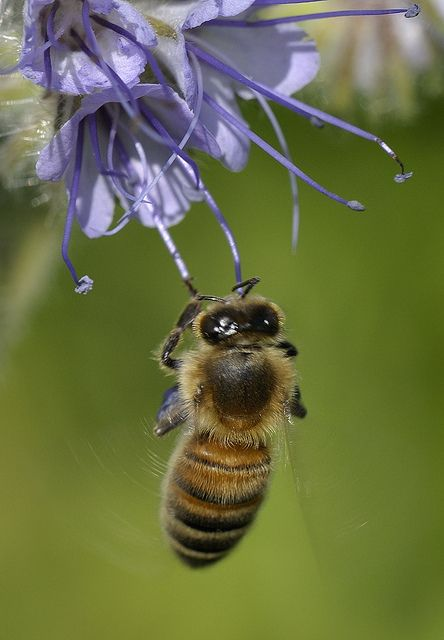 Honey Bee visiting Phacelia