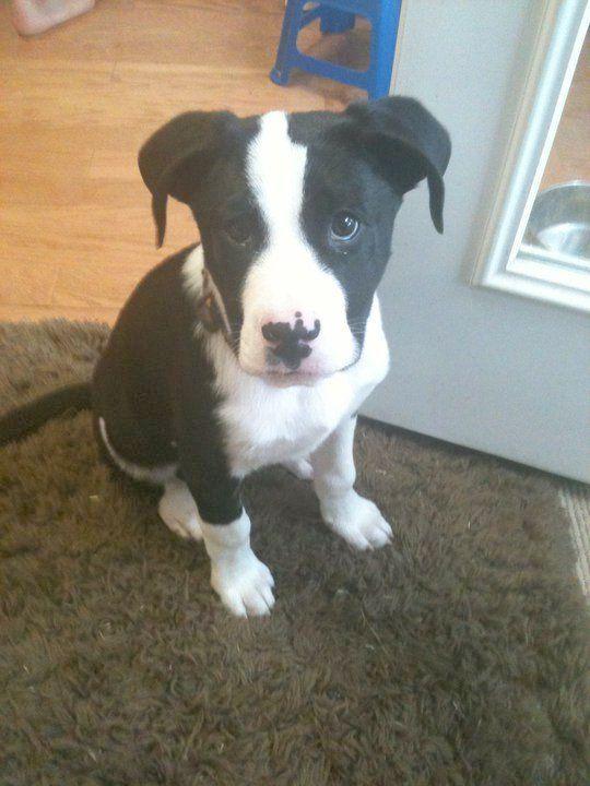 I Am Not Amused Pitbull Terrier Pitbull Terrier Mischling