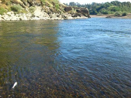 Rio Minho - savelha dentro de água Junho 2015