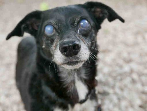 Pin By Yvette Anderzak On Adoptable Pets Dachshund Dachshund Mix Dachshund Adoption