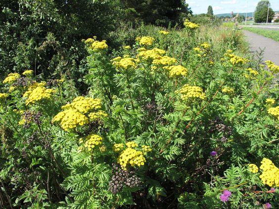 PLANTA TÓXICA Tanacetum vulgare, catinga-de-mulata, erva-de-são-marcos (tansy TOXIC PLANTS)