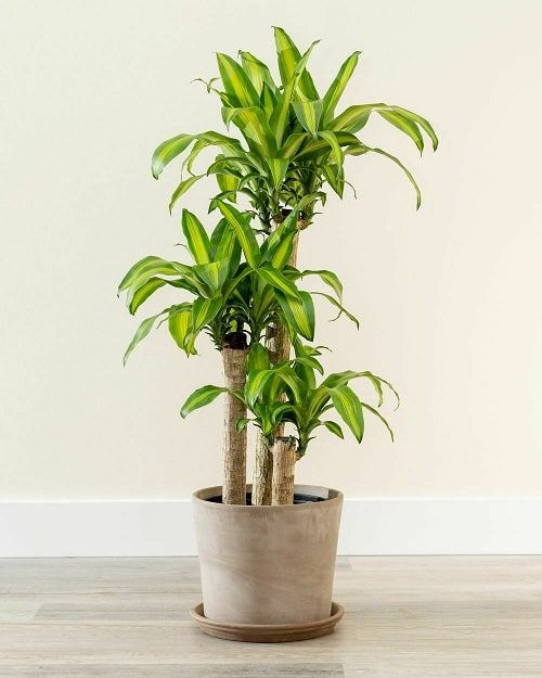 9 Best Dracaena Varieties for Indoors | Types of Dracaena Houseplants