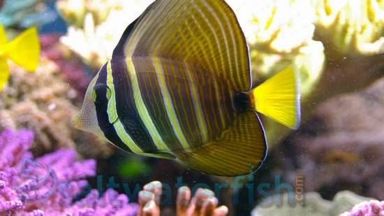 Sailfin Tang Super Special Saltwater Fish Tangs Marine Fish Fish Saltwater