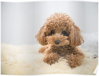 Curly Haired Toy Poodle Poster Toy Poodle Dog Breeds Friendly