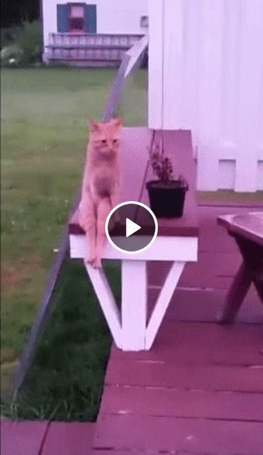 Este gato senta igual a uma pessoa