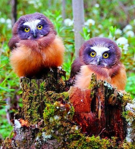 Northern Saw-whet Owls are native to North America. Image.via Bird's Eye View at www.Facebook.com/aBirdsEyeViewForYou