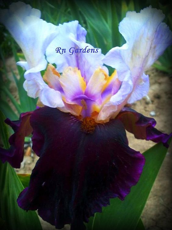 BRAZILLIAN HOLIDAY - Tall Bearded Iris - Dug, cleaned & bleached - Ships JULY - Bonus Iris added in multiple orders