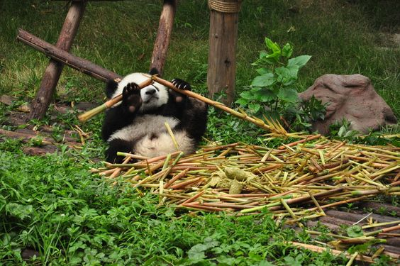 Babypanda in der Chengdu Panda Base, Sichuan, China