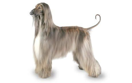 Afghan Hound Dog Breed Information Pictures Characteristics