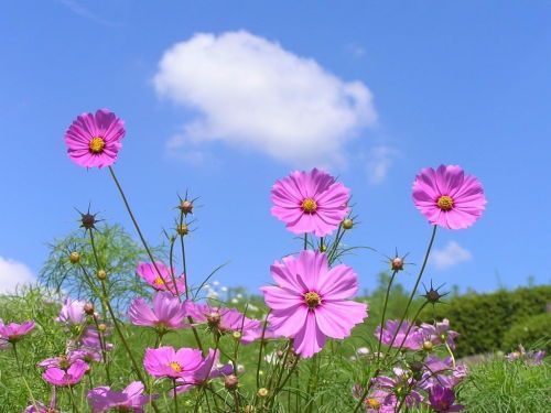 Pin By Christine On Flower Cosmos Flowers Flowers Photography Japanese Plants