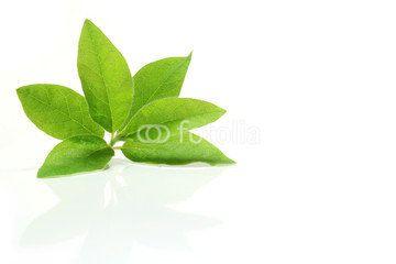 fresh azalea leaves in white