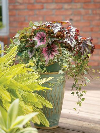 The Garden Geeks Container Recipe of the Day: Begonia Buffet Shade Container Recipe For Full Instructions