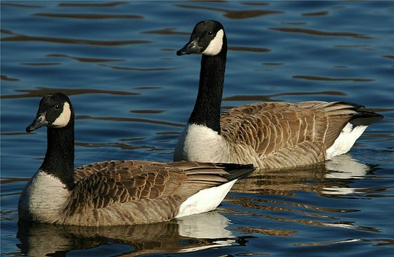 Canada Goose. Nesting at the ponds.