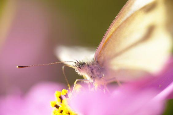Cabbage butterfly by hidemi katayama