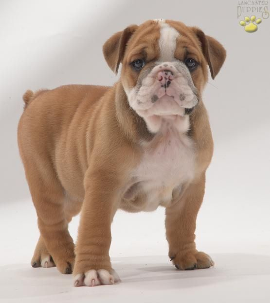 Ruby English Bulldog Puppy For Sale In Leola Pa Cute Animals English Bulldog Puppies Puppies