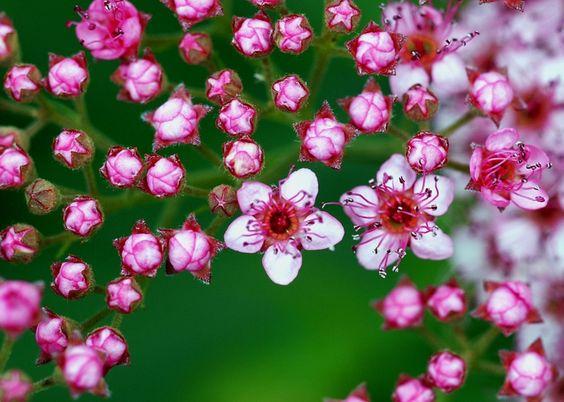 Спирея японская (55 фото): посадка и уход, сорта и виды спиреи http://happymodern.ru/spireya-yaponskaya-foto-posadka-i-ukhod-sorta-i-vidy-spirei/ В нашей полосе основную популярность завоевали весеннецветущие спиреи с белыми цветами, но японская спирея не менее любима за потрясающую декоративность