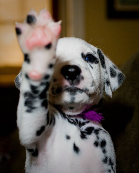 35 Reasons You Need A Dalmatian In Your Life