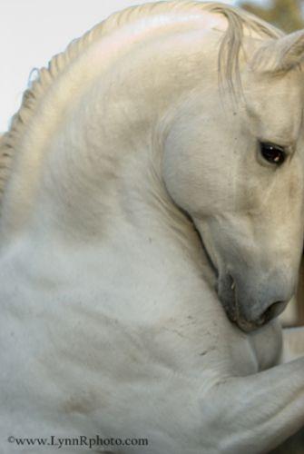 powerful..white horse