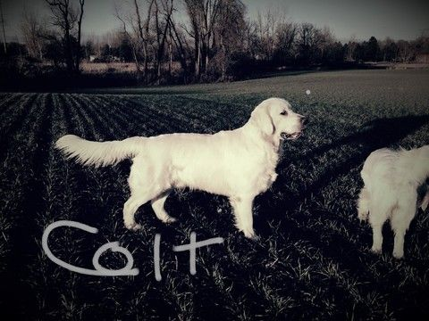 Golden Retriever Dog Breeder Subs 16364 In Fowlerville Michigan