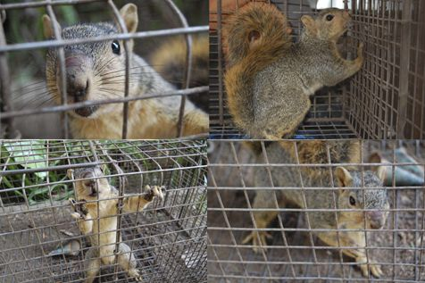 If You Have Noticed A Squirrel Taking Up Residency In Your Home Pestrgone S Expert Squirrel Control Team Can Help Call For A F Squirrel Dog Control Feline