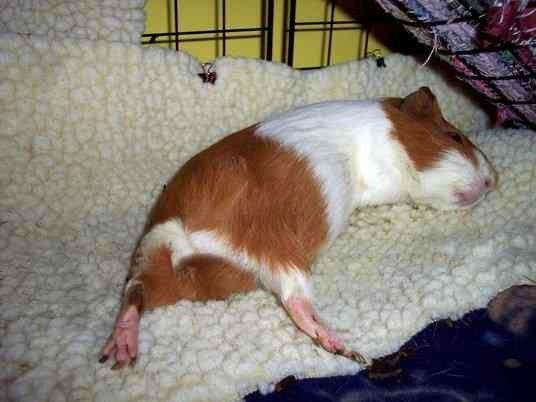 Pin On Piggy Pics, How Much Is Bedding For A Guinea Pig