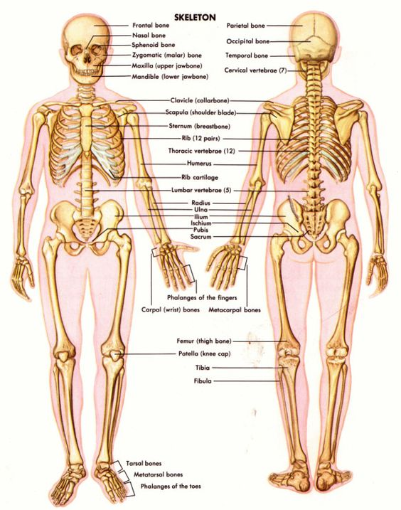Printables The Skeletal System Worksheet Answer Key skeletal system worksheet answers davezan collection of chapter 5 answers